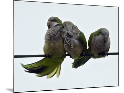 Three Monk Parakeets Brace Themselves against a Stiff Breeze as They Perch on a Wire--Mounted Photographic Print
