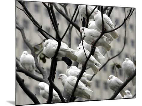 Doves Rest on a Tree--Mounted Photographic Print