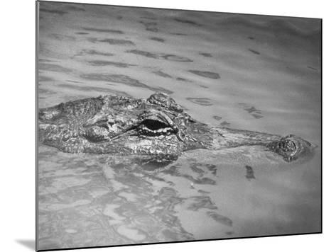 An Alligator Peers Above the Backwaters of Lafitte, Miss.--Mounted Photographic Print
