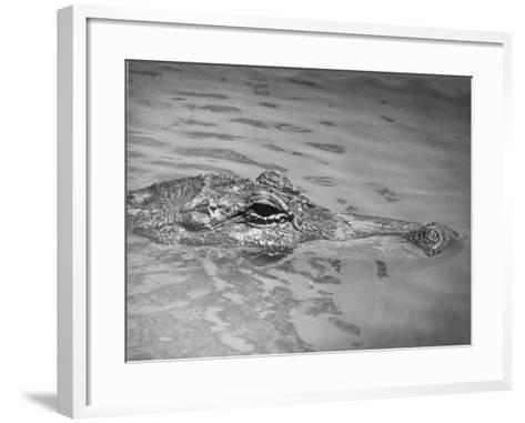 An Alligator Peers Above the Backwaters of Lafitte, Miss.--Framed Art Print
