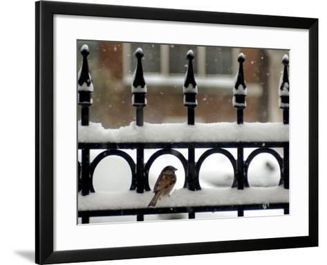 A Sparrow Surveys its Surroundings as It Stops to Rest on a Snow-Covered Fence--Framed Art Print