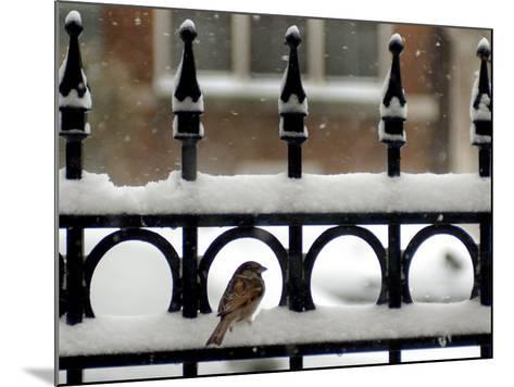 A Sparrow Surveys its Surroundings as It Stops to Rest on a Snow-Covered Fence--Mounted Photographic Print