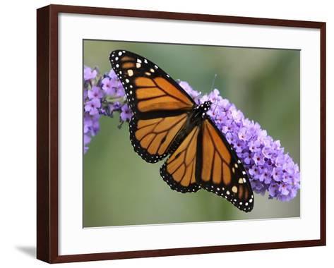 A Monarch Butterfly Spreads its Wings as It Feeds on the Flower of a Butterfly Bush--Framed Art Print