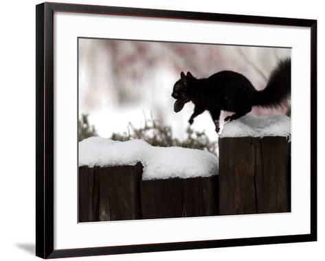 A Black Squirrel Leaps Along a Snow Covered Fence--Framed Art Print