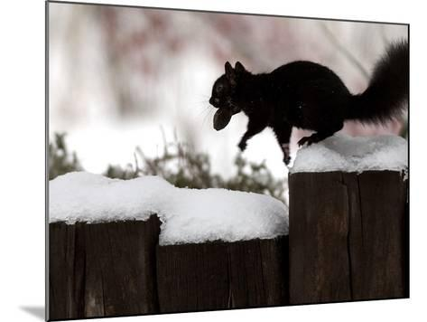 A Black Squirrel Leaps Along a Snow Covered Fence--Mounted Photographic Print