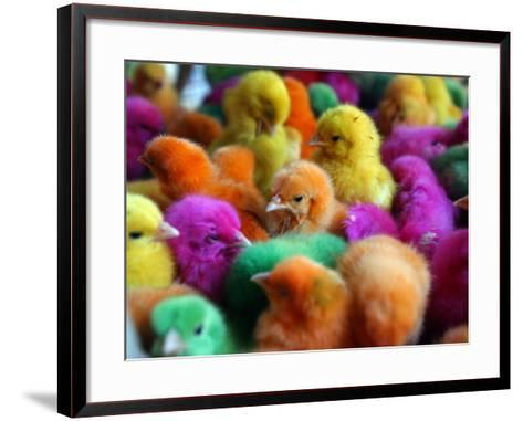 Artificially Colored Chicks Crowd Together--Framed Art Print