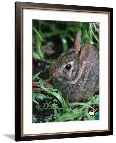 Eastern Cottontail Rabbit, Tyler, Texas-Dr. Scott M. Lieberman-Framed Art Print