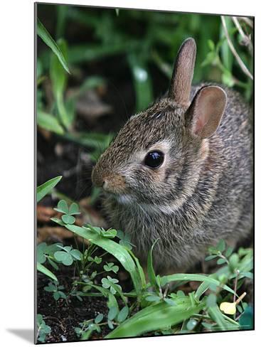 Eastern Cottontail Rabbit, Tyler, Texas-Dr. Scott M. Lieberman-Mounted Photographic Print