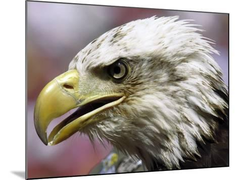 A Bald Eagle from the World Bird Sanctuary Looks on During the Playing of the National Anthem--Mounted Photographic Print