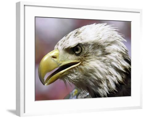 A Bald Eagle from the World Bird Sanctuary Looks on During the Playing of the National Anthem--Framed Art Print