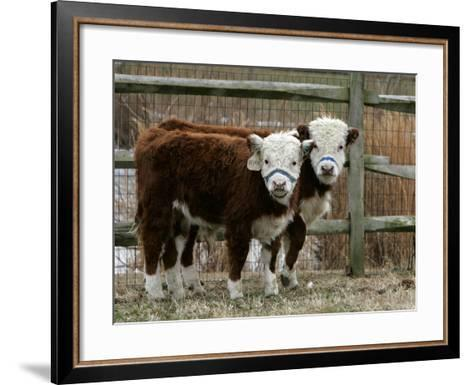 Two Young Cows Graze--Framed Art Print
