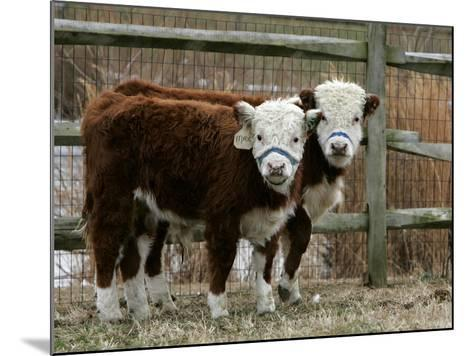 Two Young Cows Graze--Mounted Photographic Print