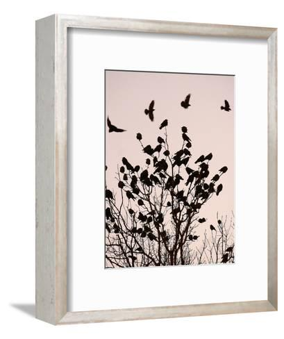 Crows Fly Over a Tree Where Others are Already Camped for the Night at Dusk in Bucharest Romania--Framed Art Print