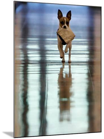 Midge Runs Down the Hallway of the Department after Fetching a Bag of Marijuana--Mounted Photographic Print