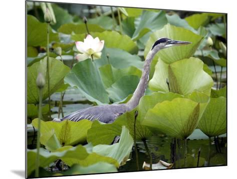 A Great Blue Heron Walks Through a Patch of Lotus Flowers--Mounted Photographic Print