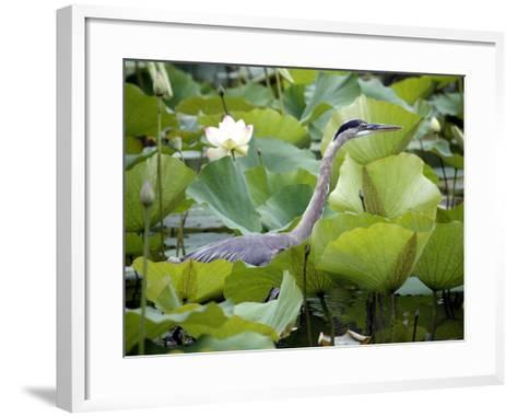 A Great Blue Heron Walks Through a Patch of Lotus Flowers--Framed Art Print