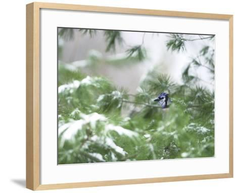 A Bluejay Peeks out from Snowy Pine Branches--Framed Art Print