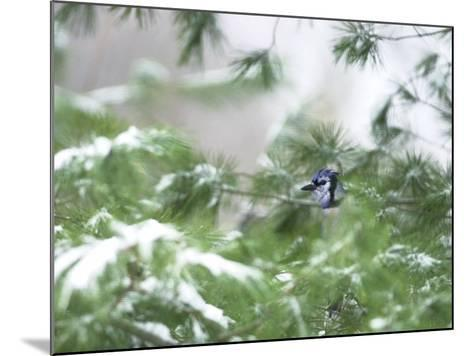A Bluejay Peeks out from Snowy Pine Branches--Mounted Photographic Print