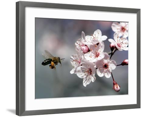 A Bee Hovers in Front of a Blossom of a Plum Tree--Framed Art Print