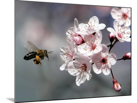 A Bee Hovers in Front of a Blossom of a Plum Tree--Mounted Photographic Print