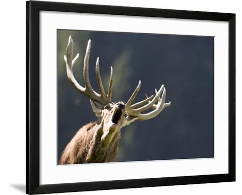 Rutting Stag Bellows in a Wildlife Park in Aurach, Austria--Framed Art Print