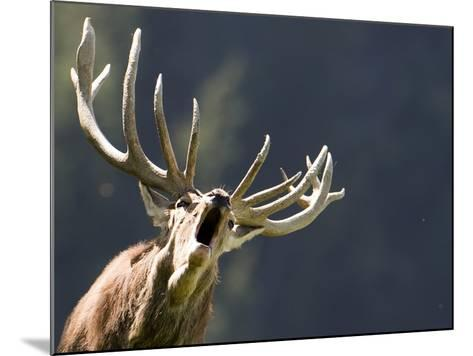 Rutting Stag Bellows in a Wildlife Park in Aurach, Austria--Mounted Photographic Print