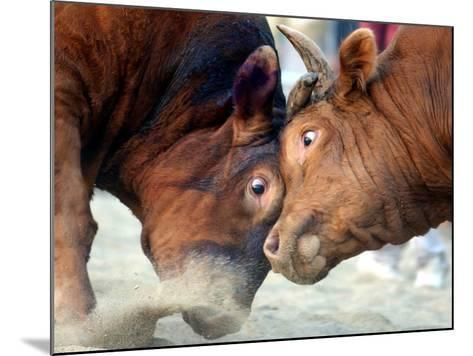 Two South Korean Bulls Lock Horns in the 2005 Bullfighting Festival in Seoul, South Korea--Mounted Photographic Print