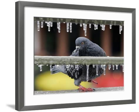 Pigeon Slides Along the Ice in Downtown San Antonio,--Framed Art Print