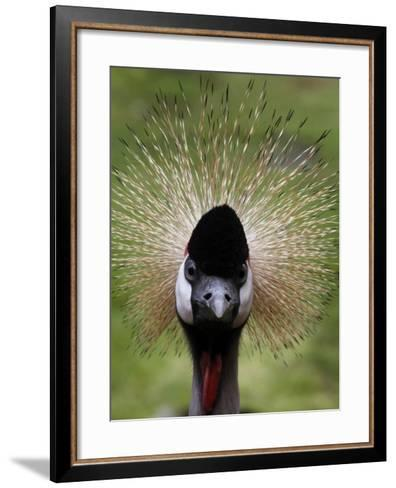Black Crowned Crane as It Parades in the Bird Park in Walsrode--Framed Art Print
