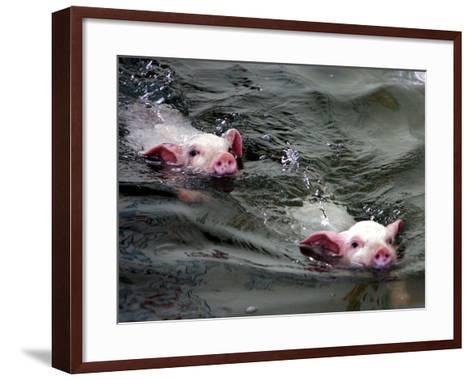 Pigs Compete Swimming Race at Pig Olympics Thursday April 14, 2005 in Shanghai, China-Eugene Hoshiko-Framed Art Print