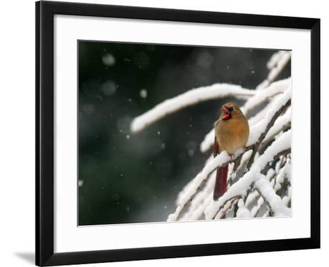 A Cardinal Waits its Turn at a Birdfeeder on a Snow-Covered Tree--Framed Art Print