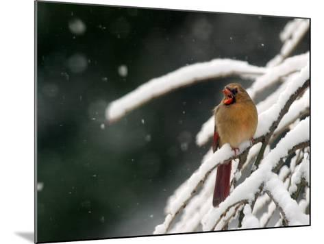 A Cardinal Waits its Turn at a Birdfeeder on a Snow-Covered Tree--Mounted Photographic Print