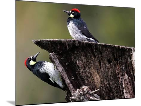 A Pair of Acorn Woodpeckers Find Their Food on a Tree at Rancho San Antonio Park--Mounted Photographic Print