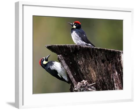 A Pair of Acorn Woodpeckers Find Their Food on a Tree at Rancho San Antonio Park--Framed Art Print