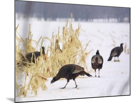 A Flock of Wild Turkey Pick Over a Corn Field in Williston, Vermont, Wednesday, March 5, 2003-Alden Pellett-Mounted Photographic Print