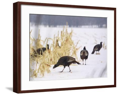 A Flock of Wild Turkey Pick Over a Corn Field in Williston, Vermont, Wednesday, March 5, 2003-Alden Pellett-Framed Art Print