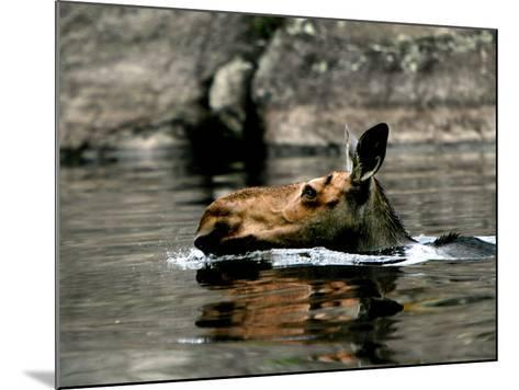 A Moose Cools Off--Mounted Photographic Print