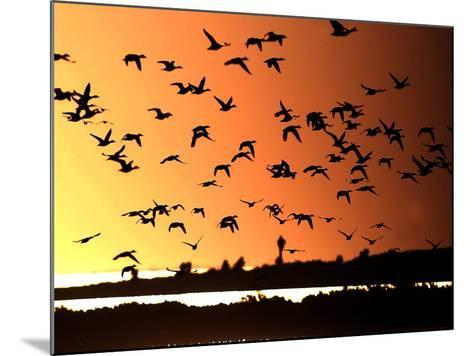 A Flock of Waterfowl--Mounted Photographic Print