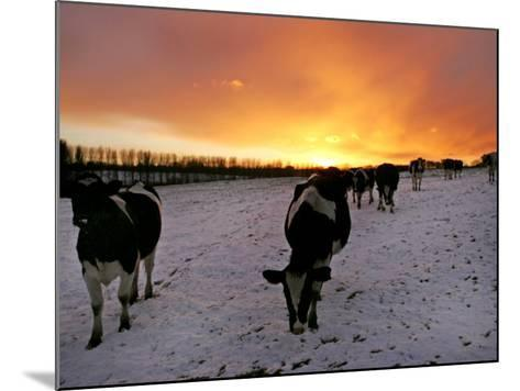 Cows Walk in a Snow Covered Field as Sunset Falls--Mounted Photographic Print