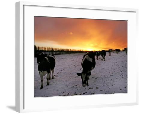 Cows Walk in a Snow Covered Field as Sunset Falls--Framed Art Print