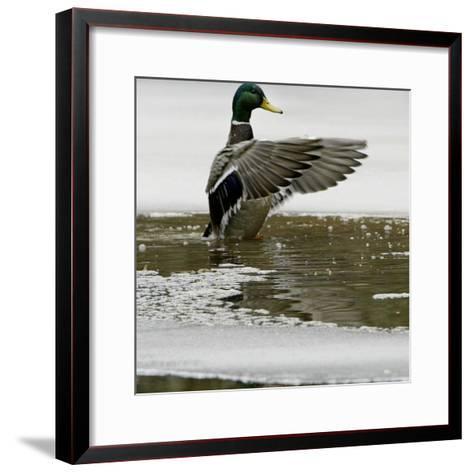 A Mallard Takes an Icy Bath--Framed Art Print