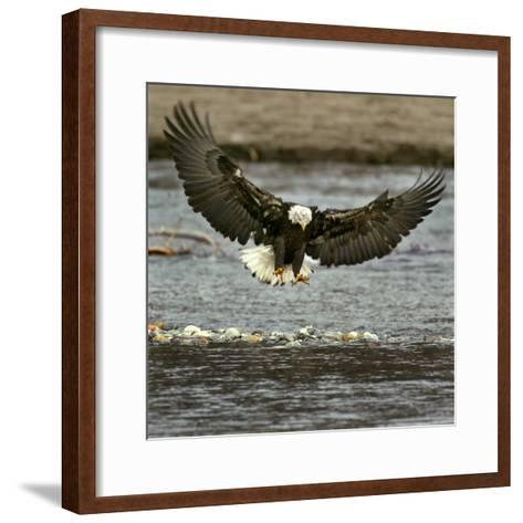 A Bald Eagle Swoops Down for a Landing While Looking for Fish--Framed Art Print