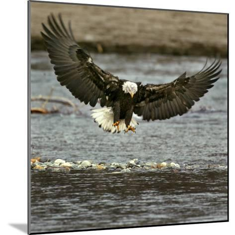 A Bald Eagle Swoops Down for a Landing While Looking for Fish--Mounted Photographic Print