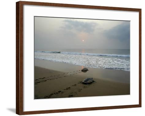 Olive Ridley Turtles Return to the Bay of Bengal Sea after Laying Eggs on Gokhurkuda Beach, India--Framed Art Print