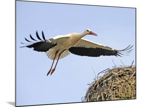 Stork Approaches its Nest in Holzen--Mounted Photographic Print