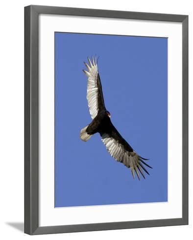 Turkey Vulture Soars Against a Cloudless Sky in Carmel--Framed Art Print