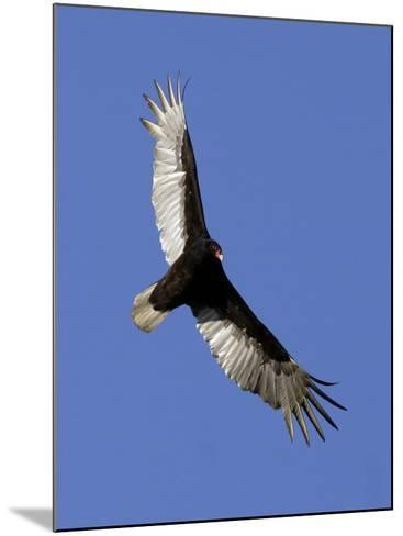 Turkey Vulture Soars Against a Cloudless Sky in Carmel--Mounted Photographic Print