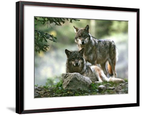 Asap Entertainment Plays with Wolves-Lionel Cironneau-Framed Art Print