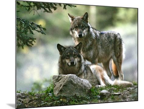 Asap Entertainment Plays with Wolves-Lionel Cironneau-Mounted Photographic Print