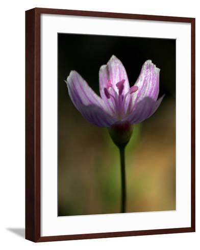 A Spring Beauty, Also Know as Fairy-Spud--Framed Art Print